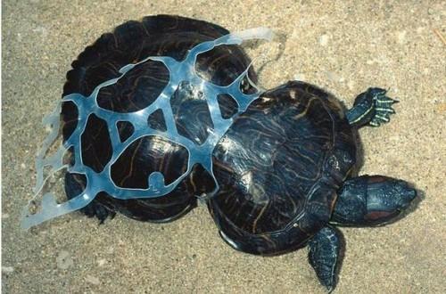 Tortuga marina se deforma con unos  anillos de plástico  que arrojaron al mar