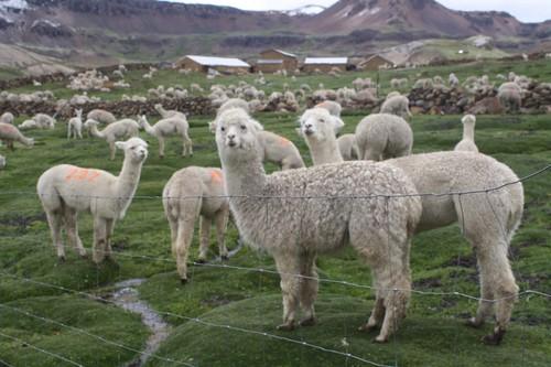 [Huancavelica] Productores celebran 'Día Regional de la Alpaca'