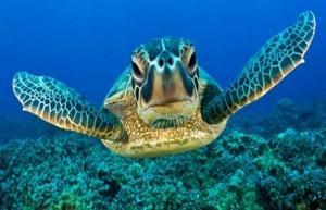 Científicos predicen la extinción en 20 años para las tortugas verdes del Pacífico