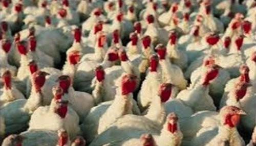 En Navidad y Año Nuevo habrá 2 millones de pavos para atender el mercado local