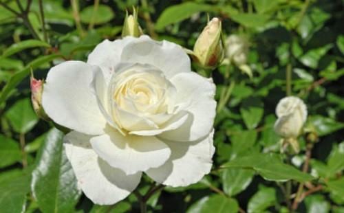 ¿Y si cultivas una rosa blanca?