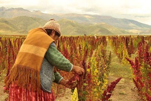 Aumenta demanda de quinua peruana en Tailandia