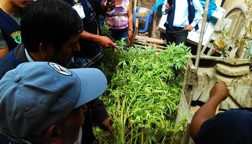 Encuentran plantones de marihuana en vivienda de Pachacútec - Ventanilla