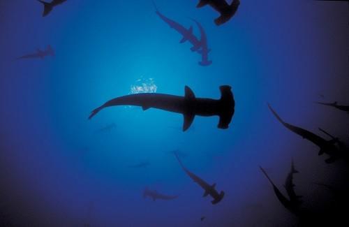 Investigación y conservación marina: Se realizará el '1er Simposio Peruano de Tiburones, Rayas y Especies Afines'