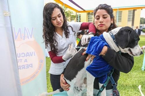 Minsa vacunará contra la rabia a más de un millón de canes de Lima Metropolitana, Callao y Lima región