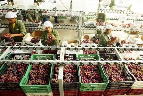 Uva peruana suma cerca de US$ 272 millones en el exterior
