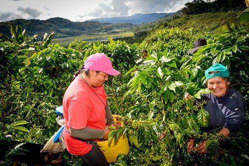 Sierra y Selva Exportadora generó ventas totales en aprox. 500 millones de soles en el 2017