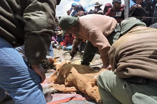 Arequipa: Realizan primer chaccu en la Reserva Paisajística Sub Cuenca del Cotahuasi