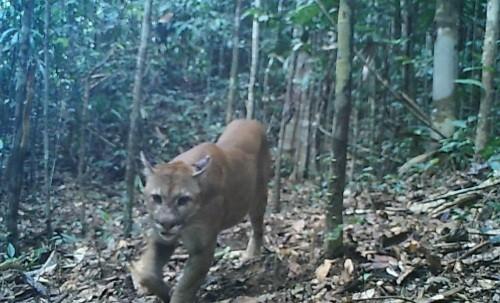 Cámaras trampa registran tres especies de felinos en el Parque Nacional Sierra del Divisor