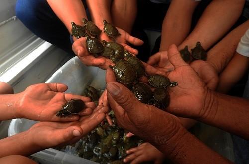 SERNANP libera cerca de 500 taricayas en Reserva Nacional Matsés