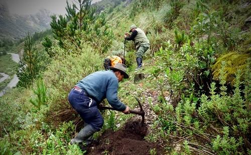 Con cerca de tres mil plantones de especies silvestres reforestan Parque Nacional Huascarán