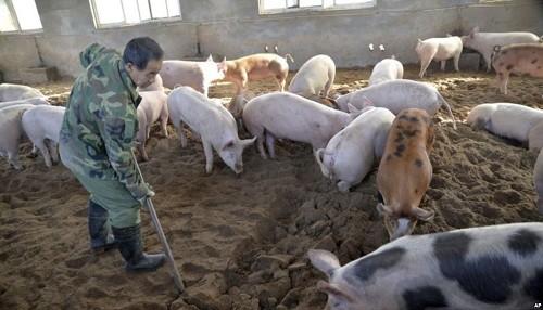 China trabaja para contener brote de peste porcina africana