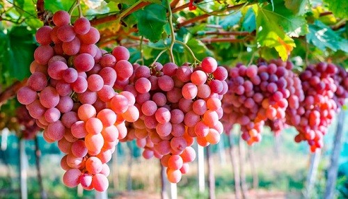 Perú se convierte en el tercer exportador mundial de uva fresca