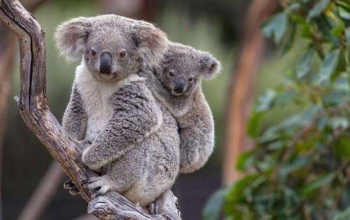 Los expertos anuncian que los koalas están 'funcionalmente extintos'