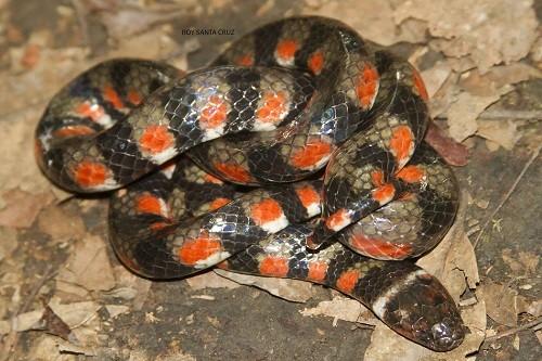 Nuevo registro de especie de serpiente para Madre de Dios se realiza en el Parque Nacional Bahuaja Sonene
