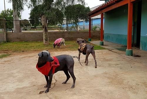 Conoce a los perros peruanos del Parque de Las Leyendas