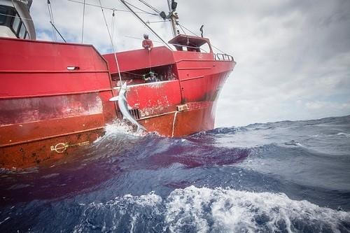 La flota pesquera española es responsable de la captura de la mayor parte de los tiburones en la Unión Europea