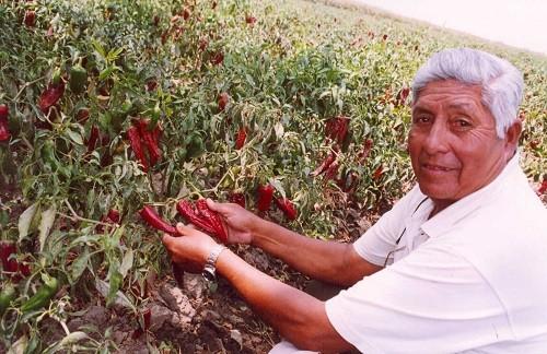 Exportación de paprika crece en Barranca