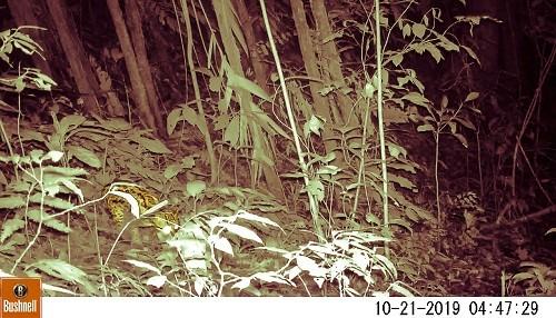 En el Día Internacional del Jaguar se realiza primer registro en imágenes de esta especie en el Parque Nacional Tingo María