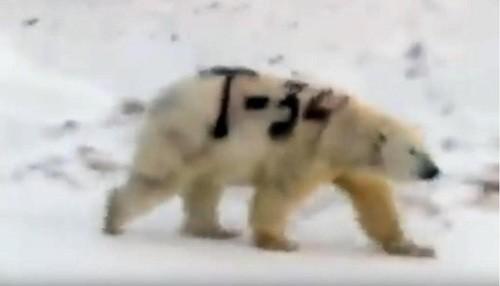 Russia: un oso polar pintado con spray con 'T-34' provoca la indignación de expertos en vida silvestre