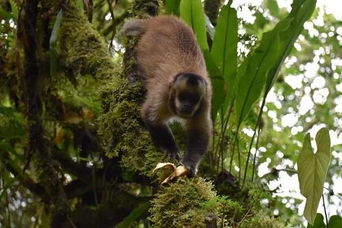 Mono machin negro es registrado por primera vez en el Santuario Histórico de Machupicchu