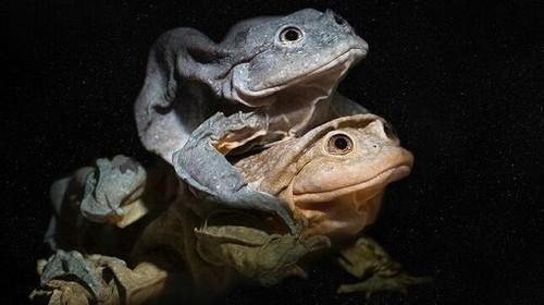Protejamos a las ranas acuáticas andinas