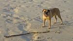 Perro boxer fue enterrado vivo en la arena (Vivo)