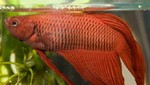 Seis enfermedades comunes que atacan a los peces de acuario