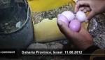 [VIDEO] Gallina en Palestina pone huevos color morado