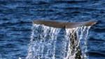 Comisión Ballenera Internacional da un paso adelante en el bienestar de las ballenas