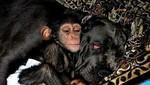 [FOTOS] Chimpancé bebé fue adoptado por una perra
