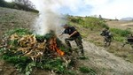 Policía Nacional bate récord destruyendo más de 200 mil plantones de marihuana en cinco días