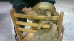 Policía rescató un oso perezoso en las calles de Los Olivos