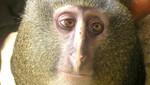 Conozca la nueva especie de mono descubierta en el Congo [FOTOS]