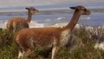 MINAG inicia censo nacional de vicuñas