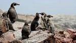 Reserva Nacional de Paracas: Primer área protegida marino costera del Perú cumplió su 37 aniversario