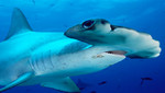 Gobiernos se preparan para enfrentar el comercio internacional del tiburón
