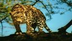Un Leopardo habría matado a 15 personas en Nepal