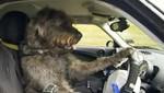 Tres perros aprendieron a conducir un automóvil [VIDEO]