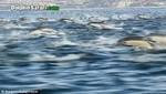 Cientos de delfines fueron vistos en la costa de California [VIDEO]