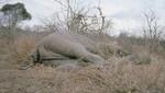 Camerún: Guerrilleros matan 200 elefantes para financiar sus actividades
