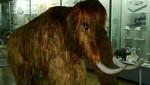 """Científicos rusos estudiarán por primera vez el cerebro del mamut """"Yuka"""""""