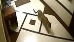 Leopardo se cuela en una casa y ataca a un perro [VIDEO]