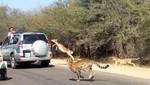 Impala escapa de depredadores saltando a un coche lleno de turistas [VIDEO]