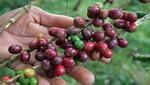 MINAGRI intensifica acciones para la renovación de cafetales con fondo de financiamiento