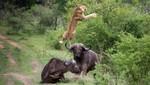 Búfalo salva a su compañero de ser devorado por los leones [VIDEO]