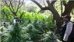 Policía Nacional ubica y destruye 3.200 platones de marihuana en provincia de Oyón