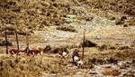 Primer Chaccu en la Reserva Paisajística Nor Yauyos Cochas