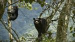SERNANP presenta estrategia multisectorial para la conservación del oso andino