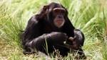 Estados Unidos restringe el uso de chimpancés para experimentos científicos